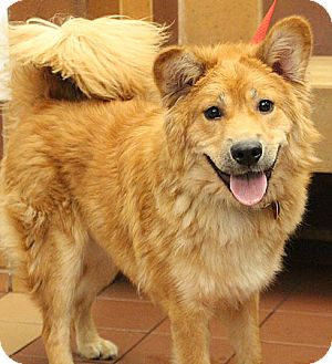 Chow Chow Mix Dog for adoption in Port Washington, New York - Leah