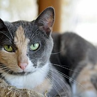 Domestic Shorthair Cat for adoption in Chicago, Illinois - Stripe