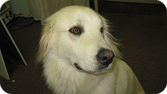 Great Pyrenees Mix Dog for adoption in Seahurst, Washington - Romy