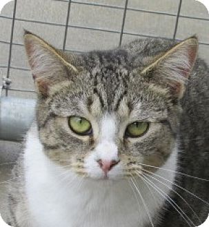 Domestic Shorthair Cat for adoption in Aiken, South Carolina - BRANDY