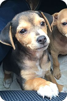 Chihuahua Mix Puppy for adoption in Breinigsville, Pennsylvania - Gia