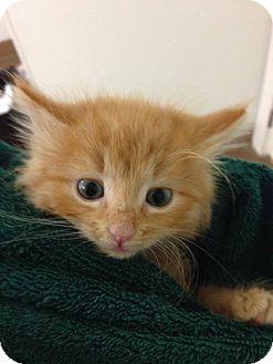 Domestic Mediumhair Kitten for adoption in Hendersonville, North Carolina - Tom