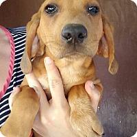 Adopt A Pet :: Prudence - Gainesville, FL
