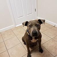 Adopt A Pet :: Bleu $125 - Seneca, SC