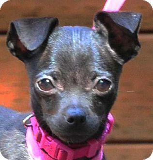 Chihuahua/Bull Terrier Mix Puppy for adoption in Vernonia, Oregon - Aurora