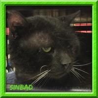 Domestic Mediumhair/Domestic Shorthair Mix Cat for adoption in Bradenton, Florida - Sinbad