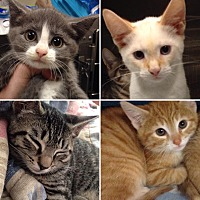 Adopt A Pet :: Kittens ...Urgent!!! - Sewaren, NJ