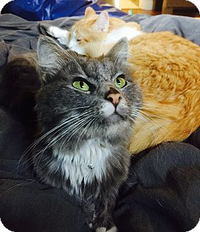 Maine Coon Cat for adoption in los Angeles, California - Norman Pierre