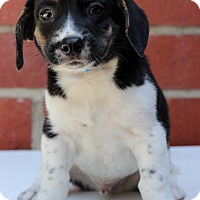 Basset Hound/Beagle Mix Puppy for adoption in Waldorf, Maryland - Caleb