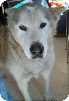 Alaskan Malamute Mix Dog for adoption in North Judson, Indiana - Mallory