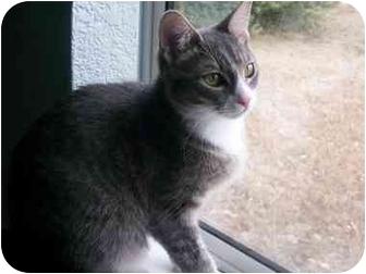 Domestic Shorthair Kitten for adoption in Elverta, California - Athena