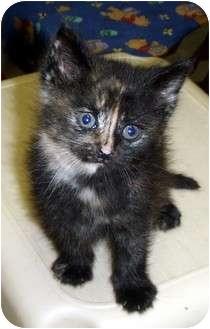 Calico Kitten for adoption in Randolph, New Jersey - Jo Jo