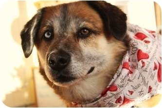 Husky/Shepherd (Unknown Type) Mix Dog for adoption in Wasilla, Alaska - Bart