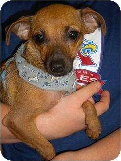 Chihuahua Mix Dog for adoption in Humble, Texas - Liberty