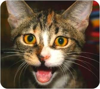 Domestic Shorthair Cat for adoption in San Ramon, California - Donut