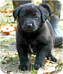 Labrador Retriever Mix Puppy for adoption in Preston, Connecticut - Chip