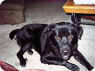 Labrador Retriever Mix Puppy for adoption in Corona, California - Diego