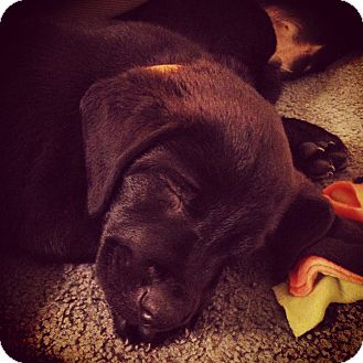 Labrador Retriever/Black and Tan Coonhound Mix Puppy for adoption in Baltimore, Maryland - Oliver