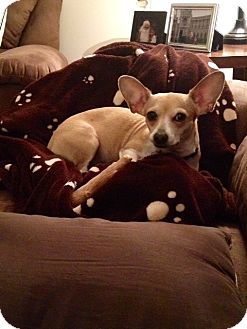 Chihuahua/Terrier (Unknown Type, Small) Mix Dog for adoption in Homewood, Alabama - Sophie Marie