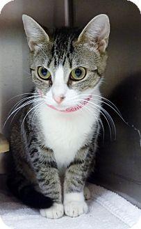 Domestic Shorthair Cat for adoption in Marietta, Georgia - TIPPY