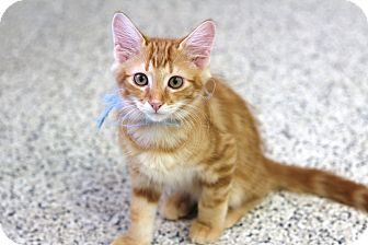 Domestic Mediumhair Kitten for adoption in Chino Valley, Arizona - Truman