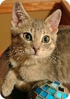 Domestic Mediumhair Cat for adoption in Portage la Prairie, Manitoba - Baxter