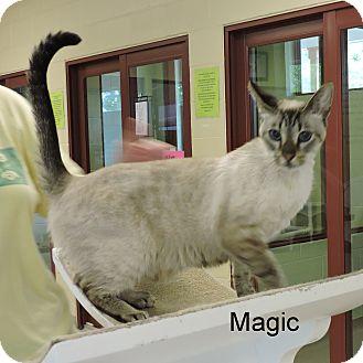 Siamese Cat for adoption in Slidell, Louisiana - Magic