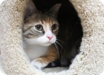 Domestic Shorthair Cat for adoption in Wheaton, Illinois - Poppy