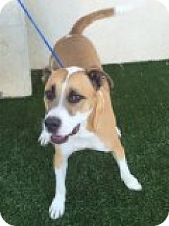 Pit Bull Terrier/Labrador Retriever Mix Dog for adoption in Las Vegas, Nevada - Thor