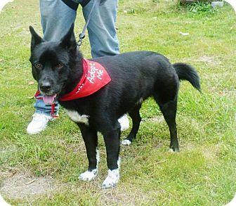 Border Collie/Husky Mix Dog for adoption in Rexford, New York - Hemi