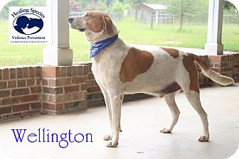 Hound (Unknown Type)/Golden Retriever Mix Dog for adoption in Orangeburg, South Carolina - Wellington