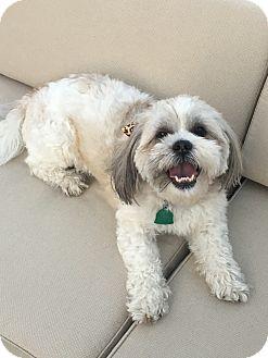 Lhasa Apso/Shih Tzu Mix Dog for adoption in Oviedo, Florida - Princess