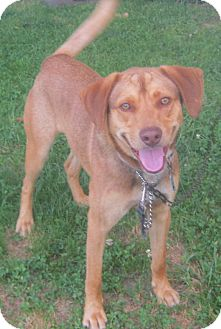 Hound (Unknown Type) Mix Dog for adoption in Hillsboro, Ohio - Copper