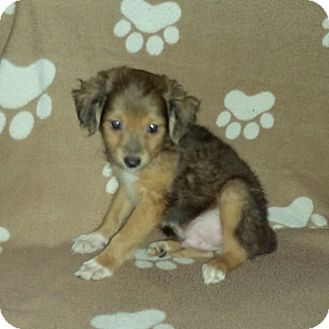 Chihuahua Mix Puppy for adoption in Houston, Texas - NUBBS (pending)