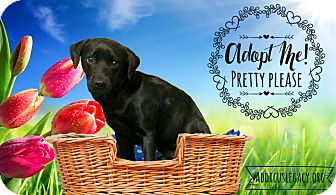 Labrador Retriever/Beagle Mix Dog for adoption in West Hartford, Connecticut - Short Stack