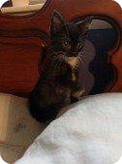 Domestic Shorthair Kitten for adoption in Hampton, Virginia - GEORGIA