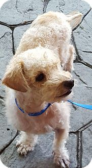Poodle (Miniature) Mix Dog for adoption in San Diego, California - Elmer