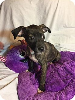 Pit Bull Terrier Mix Puppy for adoption in Hillsboro, Missouri - Michonne