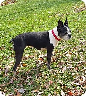 Boston Terrier Mix Dog for adoption in Lisbon, Ohio - Lilly
