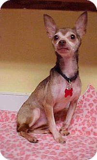 Chihuahua Dog for adoption in Dahlgren, Virginia - Eddie Munster - 7 lbs