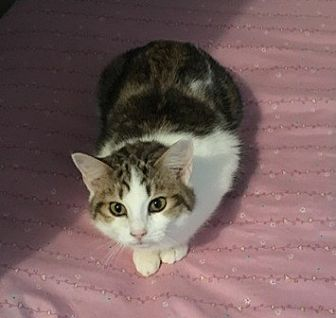 Domestic Mediumhair Cat for adoption in Sistersville, West Virginia - Jolie