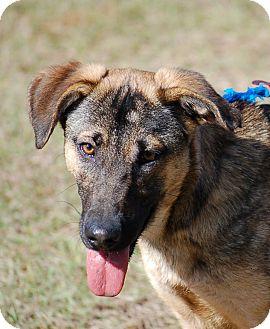 German Shepherd Dog Puppy for adoption in Preston, Connecticut - Gator AD 03-18-17