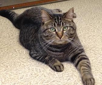 Domestic Shorthair/Domestic Shorthair Mix Cat for adoption in Anderson, Indiana - Luna bell
