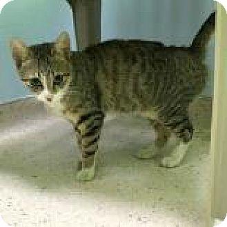 Domestic Shorthair Kitten for adoption in Janesville, Wisconsin - Hope