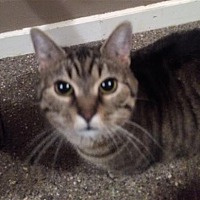 Domestic Shorthair/Domestic Shorthair Mix Cat for adoption in Anderson, Indiana - Beverly