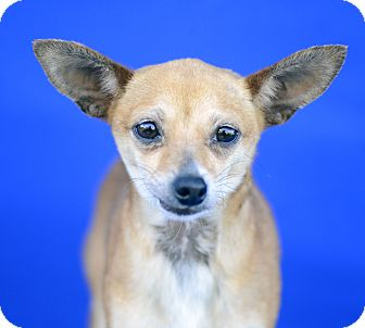 Chihuahua/Terrier (Unknown Type, Small) Mix Dog for adoption in LAFAYETTE, Louisiana - TEAGAN