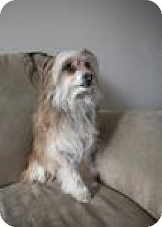 Silky Terrier Mix Dog for adoption in Canyon Country, California - Opal