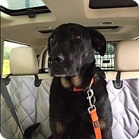 Adopt A Pet :: Boudreau - Pinehurst, NC