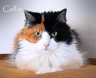 Calico Cat for adoption in Sarasota, Florida - Callie