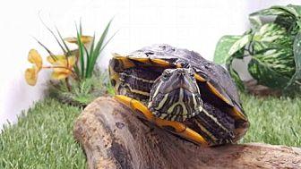 Turtle - Other for adoption in Pefferlaw, Ontario - Sundae